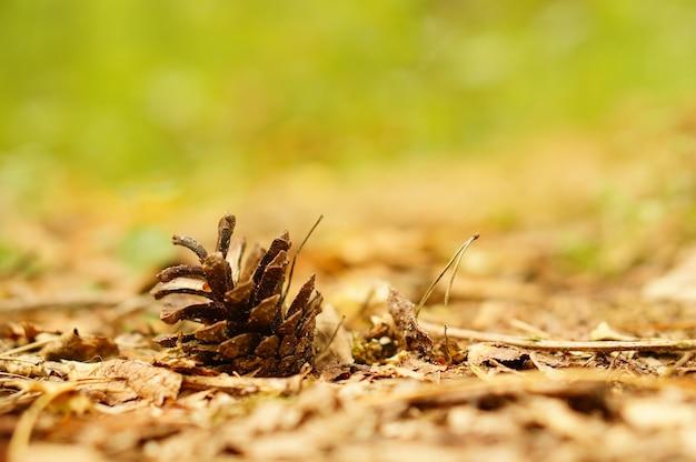 Zbliżenie upadłej szyszki sosny