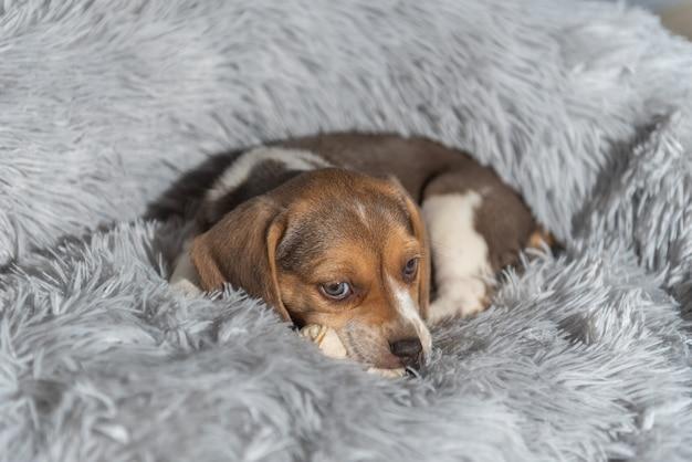 Zbliżenie uroczego brązowego szczeniaka rasy beagle leżącej na łóżku