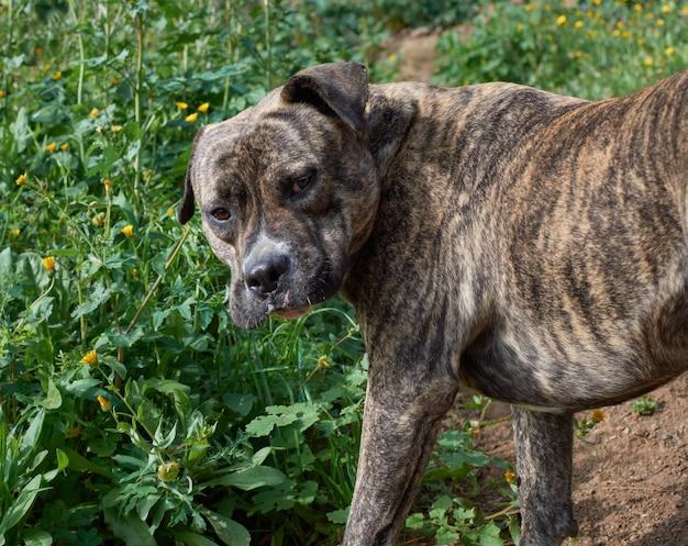 Zbliżenie uroczego, potężnego psa cimarron uruguayo (perro cimarron uruguayo)