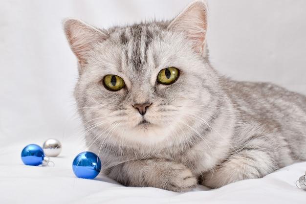 Zbliżenie uroczego szkockiego kota w szarym pasku leżącego obok bożonarodzeniowej gałęzi