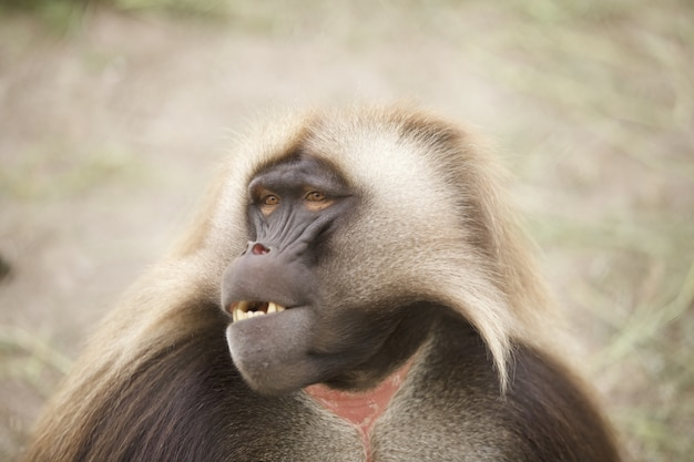 Zbliżenie uroczej małpy gelada na niewyraźne tło