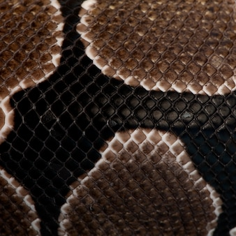 Zbliżenie: wąż pythona regiusa