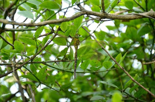 Zbliżenie ważki siedzącej na drzewie z zielonymi, bujnymi liśćmi