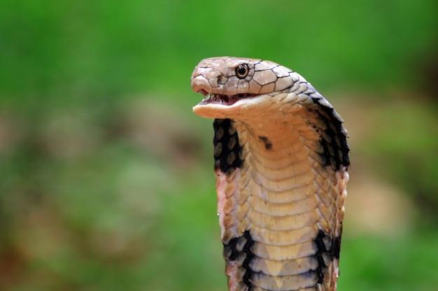 Zbliżenie węża kobry królewskiej