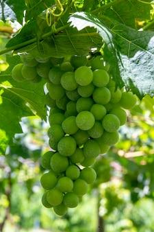 Zbliżenie wiązka stołowi winogrona na winogradzie