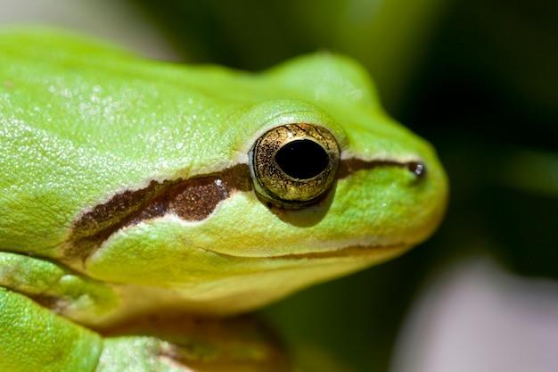 Zbliżenie widok pospolita zielona europejska drzewnej żaby głowa.