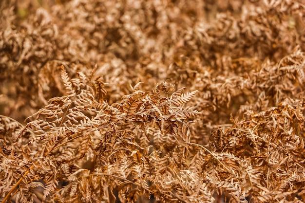 Zbliżenie widok suchych liści paproci jesienią.
