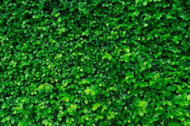 Zbliżenie wiecznie zielonych roślin żywopłotowych. małe zielone liście w tle ściany żywopłotu. eko zimozielony mur z żywopłotu. roślina ozdobna w przydomowym ogrodzie. wiele liści zmniejsza kurz w powietrzu. naturalne tło.