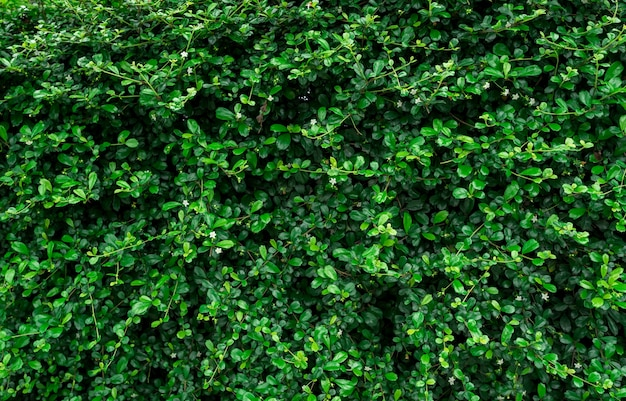 Zbliżenie wiecznie zielonych roślin żywopłotowych.