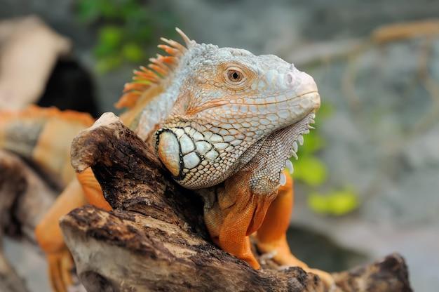 Zbliżenie wielobarwny męski iguana zielona