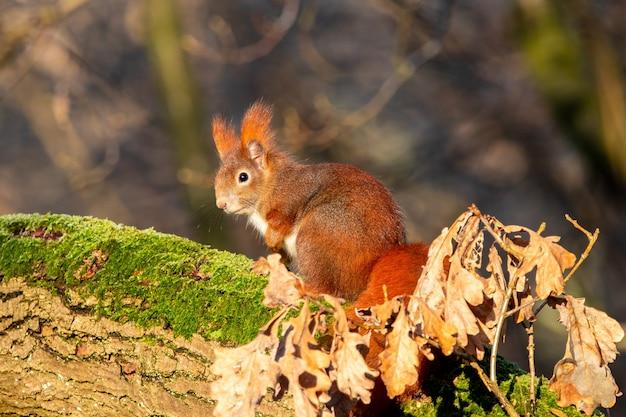 Zbliżenie wiewiórki siedzącej na kawałku drewna