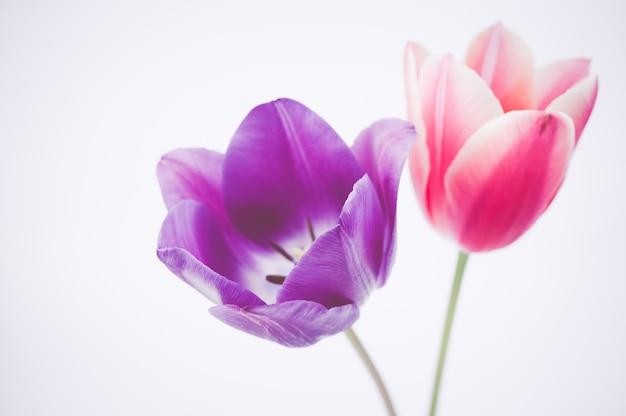 Zbliżenie z dwóch kolorowych kwiatów tulipanów na białym tle