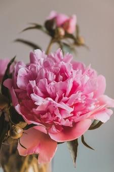 Zbliżenie z płatków kwiatów pięknej różowej piwonii