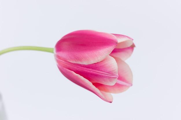 Zbliżenie z różowego kwiatu tulipana na białym tle
