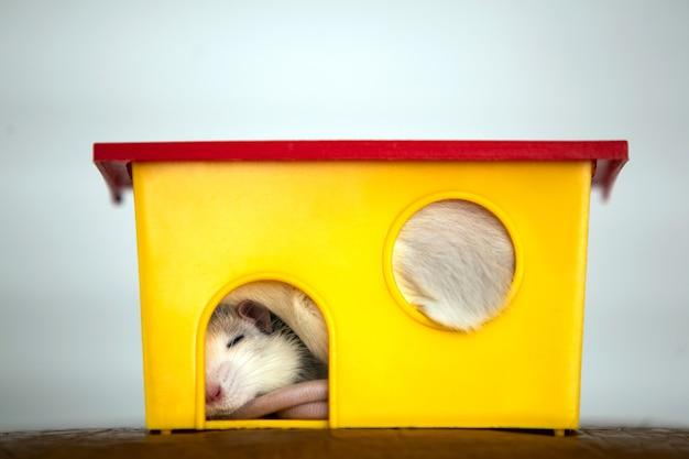 Zbliżenie zabawny biały szczur domowy z długimi wąsami, spanie w żółtym plastikowym domu dla zwierząt.