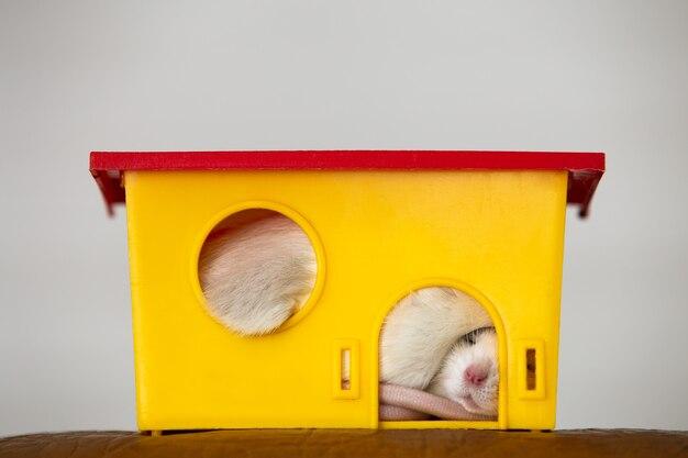 Zbliżenie zabawny biały szczur domowych z długimi wąsami spanie w żółtym plastikowym domu dla zwierząt.
