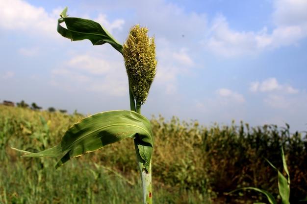 Zbliżenie zboża jowar uprawa sorgo