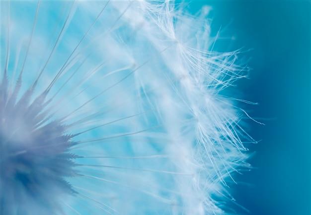 Zbliżenie zdjęcie białego mniszka lekarskiego na niebieskim tle