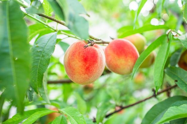 Zbliżenie zdjęcie czerwonych brzoskwini na brzoskwiniowym drzewie lub w ekologicznym sadzie lub letnim ogrodzie