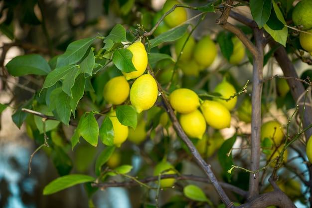 Zbliżenie zdjęcie dojrzałych cytryn wiszących na drzewie