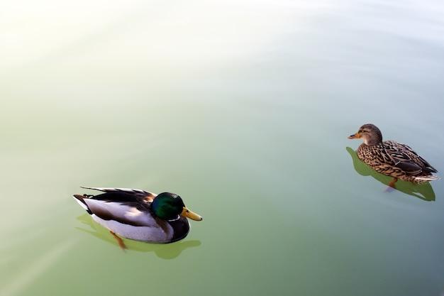 Zbliżenie zdjęcie kaczek na wodzie