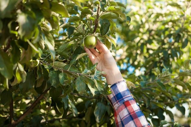Zbliżenie zdjęcie kobiety zbierającej zielone jabłko z drzewa
