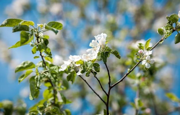 Zbliżenie zdjęcie kwiatów jabłoni na gałęzi