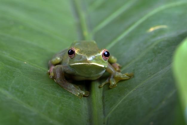 Zbliżenie zdjęcie malajskiej żaby drzewnej