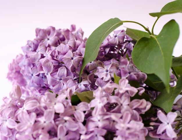 Zbliżenie zdjęcie piękne kwiaty bzu fioletowe wiosenne kwiaty kwiatowy sezonowe tło