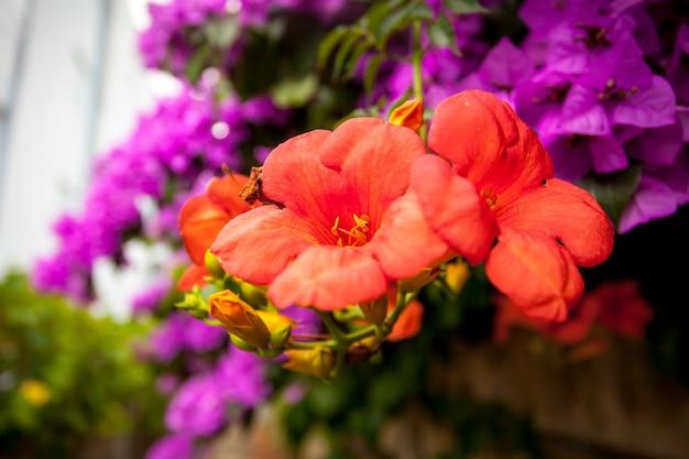 Zbliżenie zdjęcie różowych i czerwonych kwiatów bugenwilli