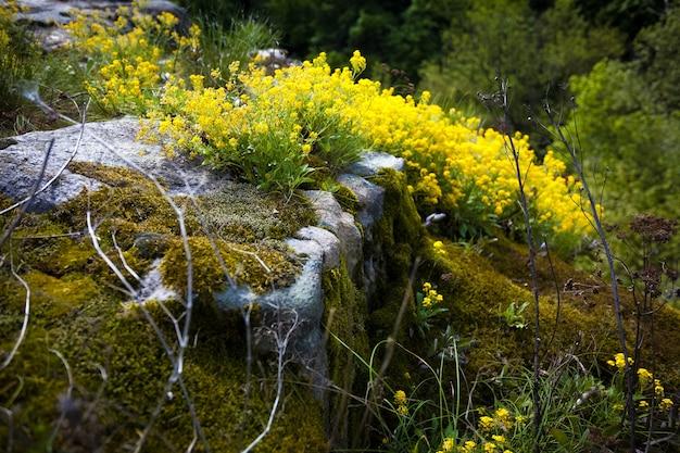 Zbliżenie zdjęcie rzepaku i mchu rosnącego na skałach