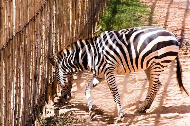 Zbliżenie zebry patrząc z dużego bambusowego ogrodzenia.