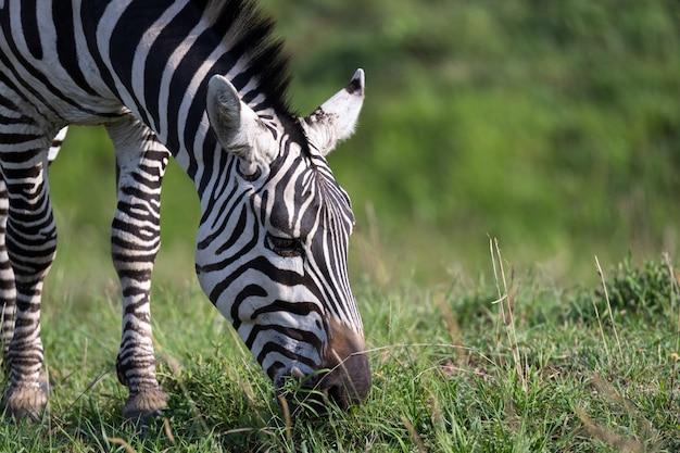 Zbliżenie zebry w parku narodowym