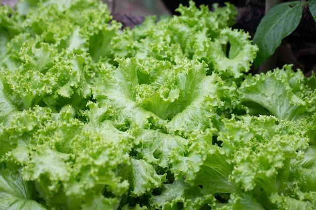 Zbliżenie zieleni sałaty warzywa w ogródzie