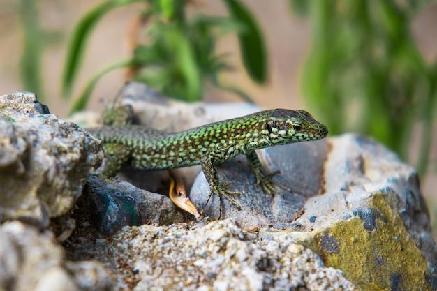 Zbliżenie zielona jaszczurka czołgająca się na kamieniu