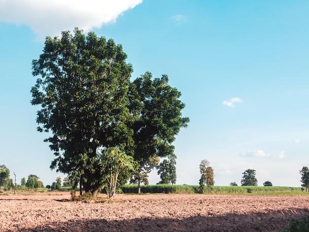 Zbliżenie zielone duże drzewo na farmie z błękitnym niebem
