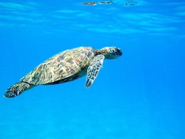 Zbliżenie zielonego żółwia morskiego pływania pod wodą pod światłami - fajne dla pojęć natury