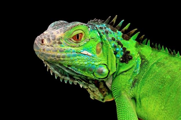Zbliżenie zielonej iguany na czarnym tle głowa zielonej iguany widok z boku na czarnym tle