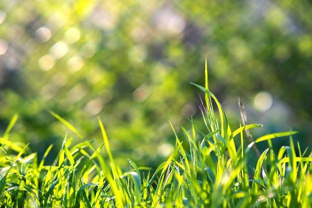 Zbliżenie zielonej trawy wynika na letnim trawniku.