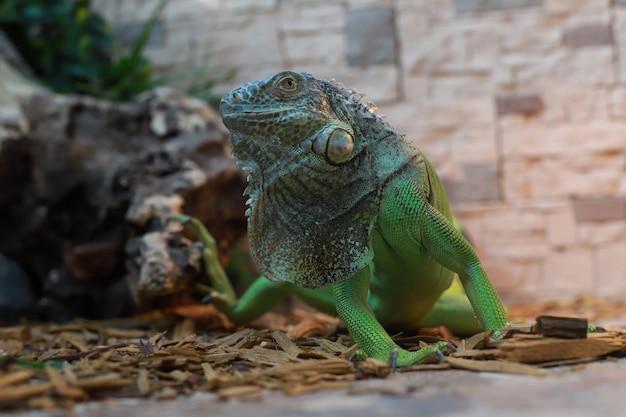 Zbliżenie zielony duży iguana