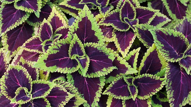 Zbliżenie zielony i fioletowy coleus solenostemon hybrida pozostawia tło w ogrodzie