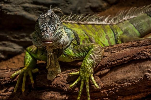 Zbliżenie zielony iguana na drewnie