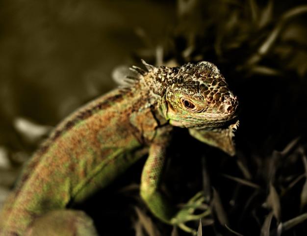 Zbliżenie zielony iguana