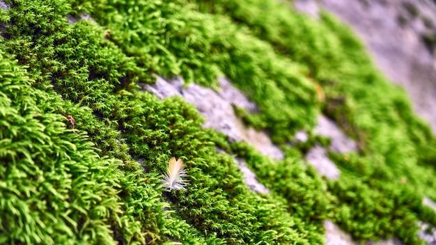 Zbliżenie: zielony mech i pióro na kamieniu. las w soczi