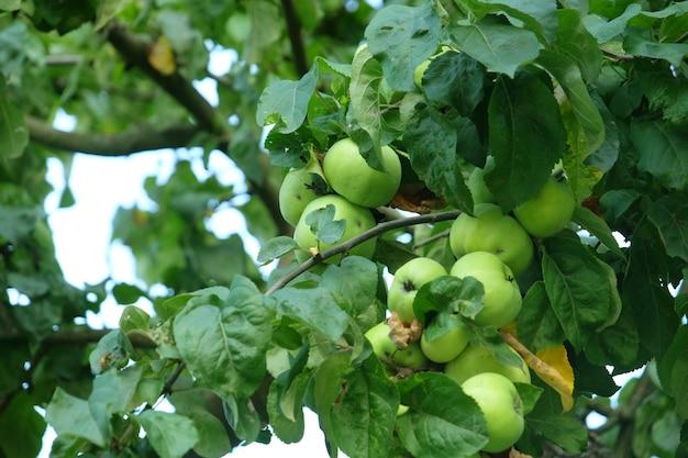 Zbliżenie zielonych jabłek, szczegóły gałęzi drzewa