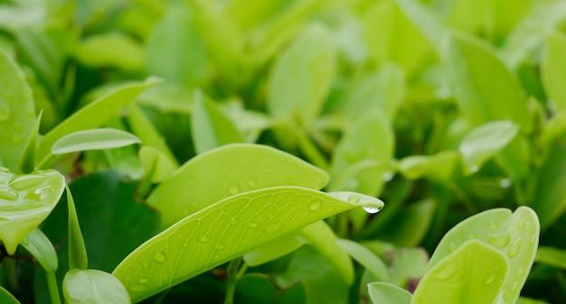 Zbliżenie zielonych liści, naturalnej scenerii na rozmytym zielonym tle.