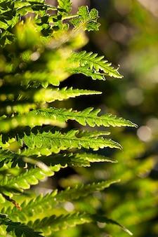 Zbliżenie zielonych liści paproci, małej głębi ostrości.