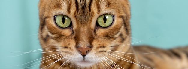 Zbliżenie zielonych oczu kota bengalskiego na zielonym tle