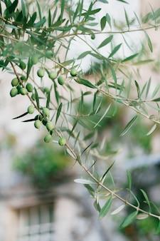 Zbliżenie zielonych owoców oliwek na gałęziach drzewa wśród liści