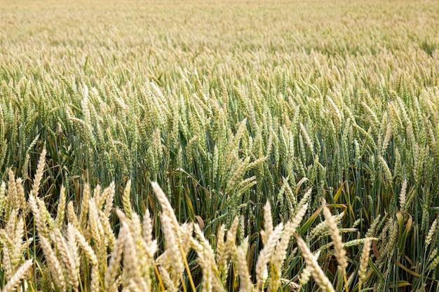 Zbliżenie zielonych zbóż w lecie